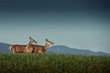 Quadro beautiful deer or doe in sunrise light on meadow, hunting theme, and wildlife scene, capreolus