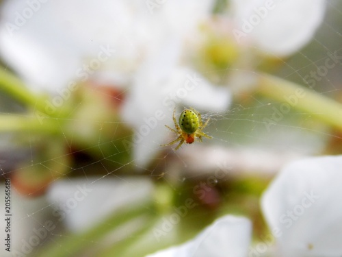 Fototapeta spider on a cherry blossom