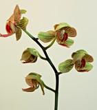 Phalaenopsis Orchid in Bloom