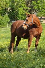 American Quarterhorse