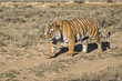 Male tiger walking in Tiger Canyons Game Reserve in South Africa