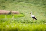 One white stork stands in clover field
