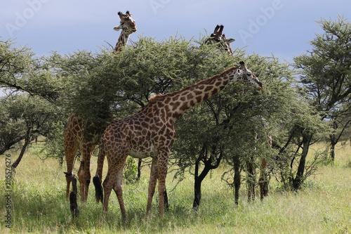 mata magnetyczna Masai Giraffe, Herd in the Evening, Serengeti, Tanzania