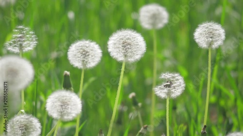 White fluffy dandelions, natural field slow motion video dandelions green blurred spring background , selective focus. the nature concept lifestyle