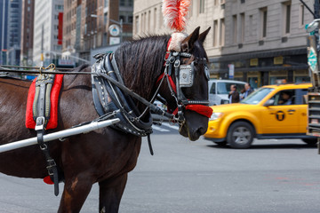 Horse used for carriage rides through Central Park in NYC.