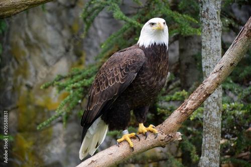 Canvas Eagle perched eagle