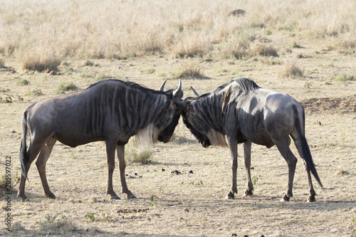 Fotobehang Zanzibar two young maleWhite bearded Wildebeest that fight among themselves in the savannah