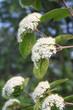 Viburnum lantana bush with white flowers in springtime