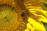 Bumblebee  on the yellow flower - sunflower. Macro with selective focus.