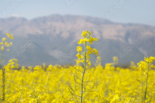Plexiglas Meloen Flowering rapeseed or canola or colza field with mountains. Brassica Napus