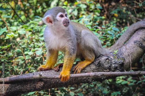 Plexiglas Aap Common squirrel monkey sits on a tree branch
