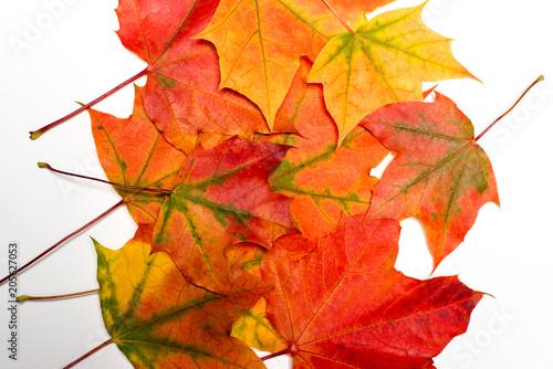 Maple autumn leaf on a white background - 205627053