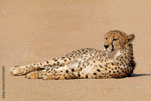 Foto Murales A relaxed cheetah (Acinonyx jubatus) lying down, South Africa.