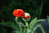 Fototapeta Maki - Blossoming Red Poppies © Psychedelight Sense