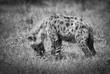 Quadro Hyena hunting, Africa