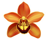 Tropical Orchid Cymbidium flower. Hand drawn realistic vector illustration on white background.