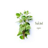 Fresh organic Mint Leaves on White Background - 205654434