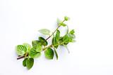 Fresh organic Mint Leaves on White Background - 205654451