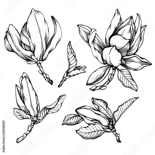 Set Of Blooming Magnolia Liliiflora Also Called Mulan Magnolia