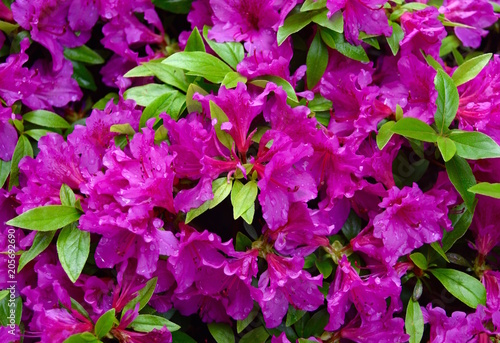 Aluminium Azalea Detail of violet colored flowers and green leaves on an azalea plant.
