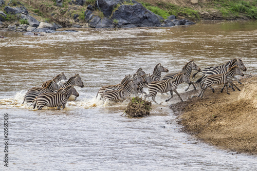 Fototapeta Zebra herd crossing the Mara River in the migration season in the Masai Mara National Park in Kenya