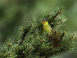 Cape May Warbler in Spring