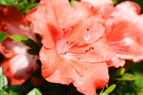 Foto Spatwand Azalea Satsuki azalea / Rhododendron