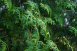 Green thuja in the park. Selective focus.