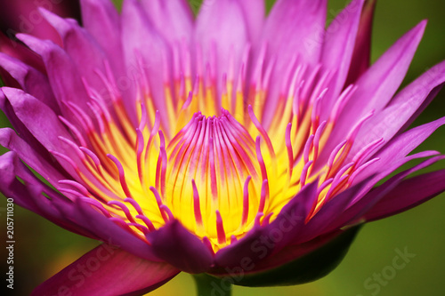 Pollen of the lotus flower - 205711030