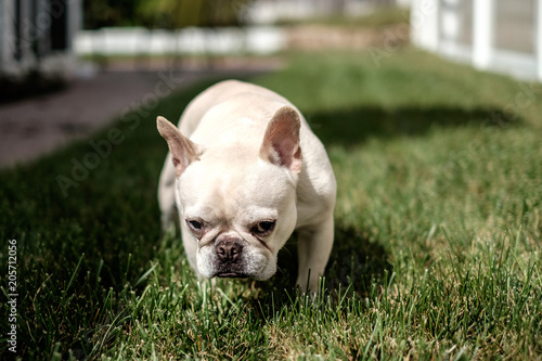 Canvas Franse bulldog French bulldog on the lawn