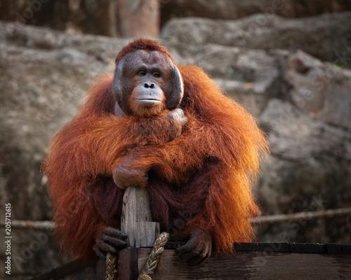 mata magnetyczna Orangutan,A male Sumatran Orangutan. Sumatran Orangutans are critically endangered in the wild due to deforestation for palm oil plantations.
