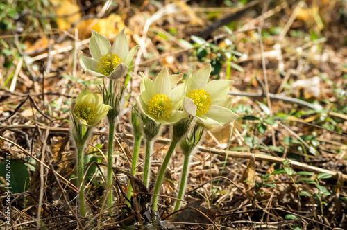Fototapeta лесные весенние цветы подснежников в лесу, май