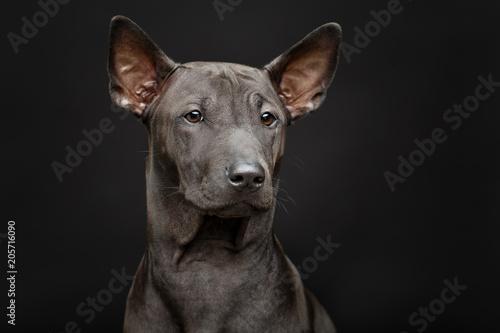 mata magnetyczna beautiful thai ridgeback puppy