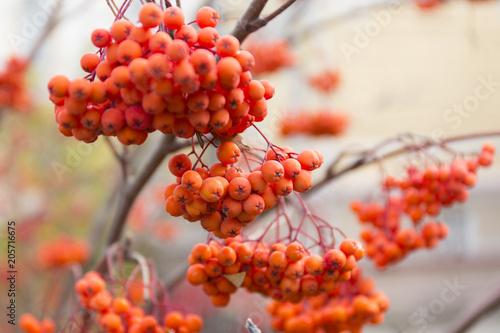 Autemn rowanberry clusters on blur background. - 205716675