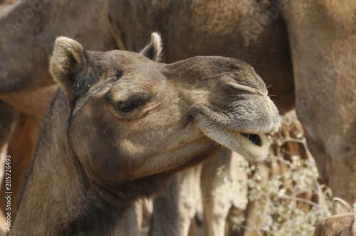 Fotobehang Kameel Dromedare (Camelus dromedarius), Reittiere, in der Wüste Thar nahe Jaisalmer, Rajasthan, Nordindien, Indien, Südasien, Asien