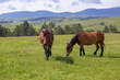 Spring landscape with horses grazing on fresh green mountain pasture