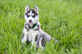 Cute Husky puppy dog portrait sits in grass