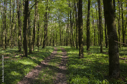 Fotobehang Lente Road in a green forest, spring view