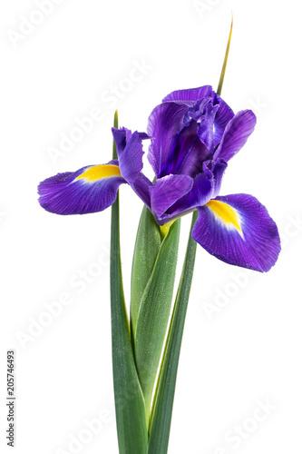 Aluminium Iris Beautiful dark purple iris flower