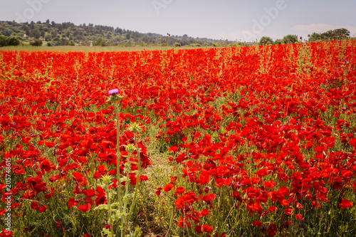 Fotobehang Rood field of poppies in Provence