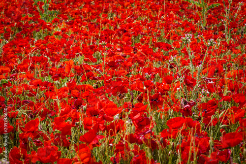 Fotobehang Rood traf. field of poppies in Provence