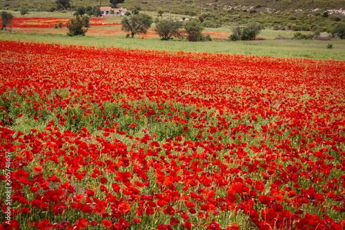 Canvas Rood traf. field of poppies in Provence