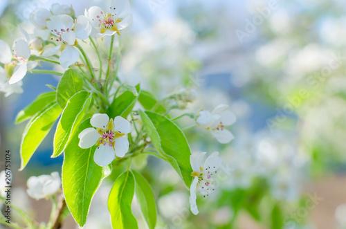 Fototapeta Flowers of the cherry blossoms