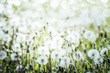 White Dandelions field background, summer wild nature - 205759495