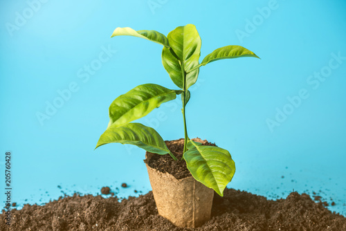 Foto Murales New green Sprout of tree in soil in the peat pot on blue background. The concept of environmental protection. Eearth day