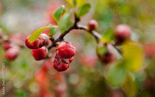 Foto Murales red, fruit, berry, nature, tree,