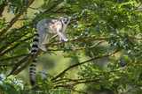 Ring-tailed Lemur - Lemur catta, beautiful lemur from Southern Madagascar forests. - 205776067