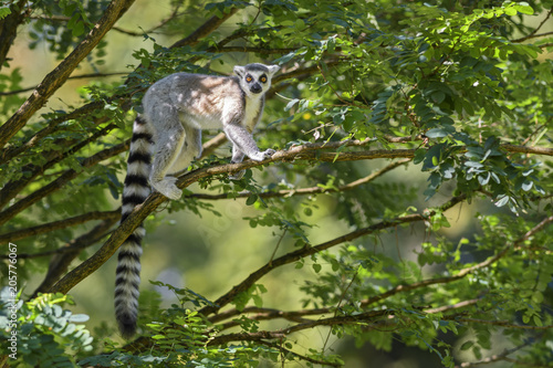 Foto Murales Ring-tailed Lemur - Lemur catta, beautiful lemur from Southern Madagascar forests.