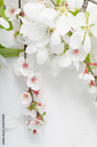 Fototapeta Blooming branches of apple and cherry on white background.