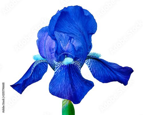 Aluminium Iris Blue iris flower isolated on a white background. Close-up. Flower bud on a green stem.